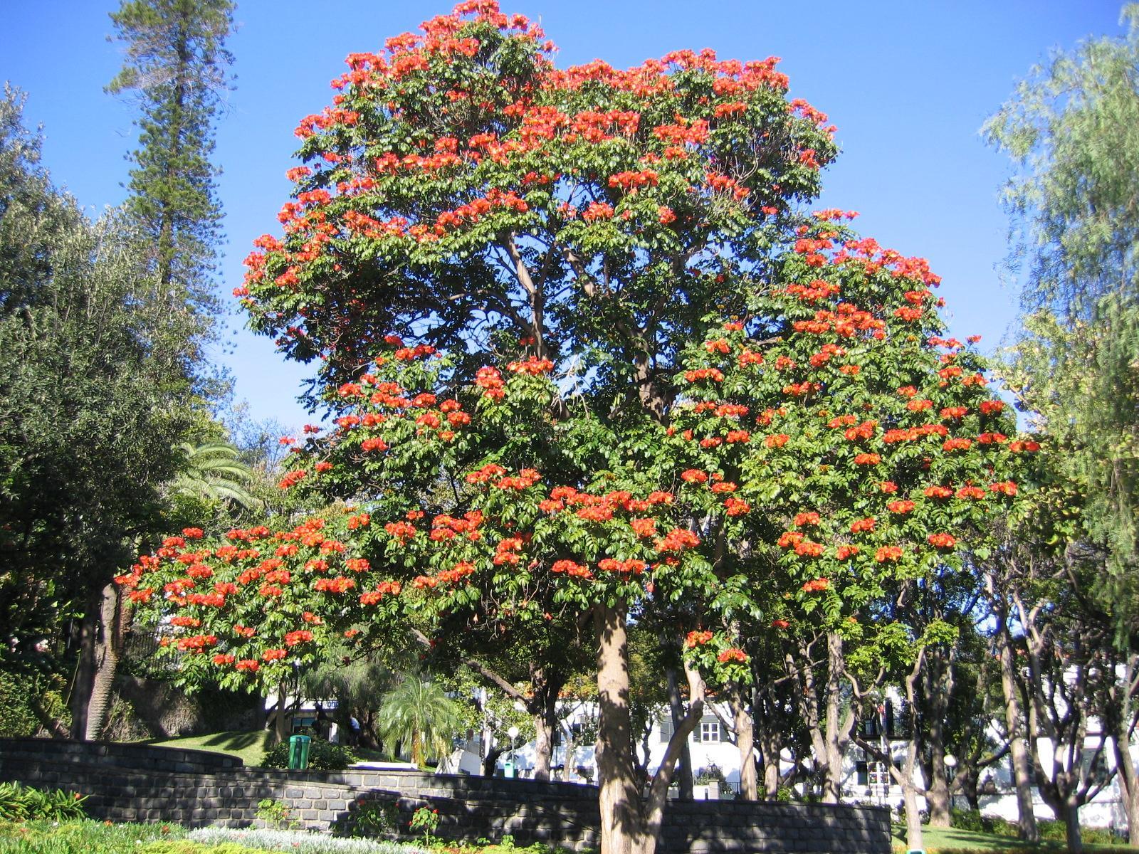 Африканское тюльпанное дерево в домашних условиях фото