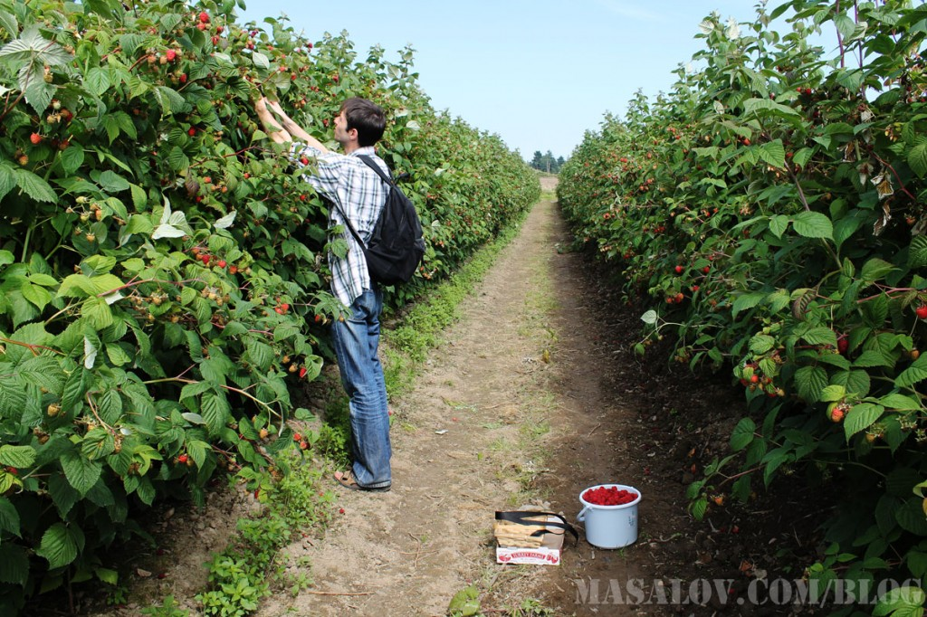 Ферма по выращиванию малины 71