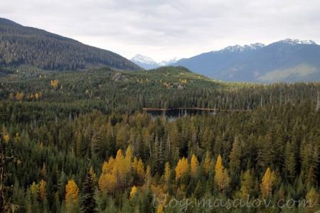 Yellow cedar grows very