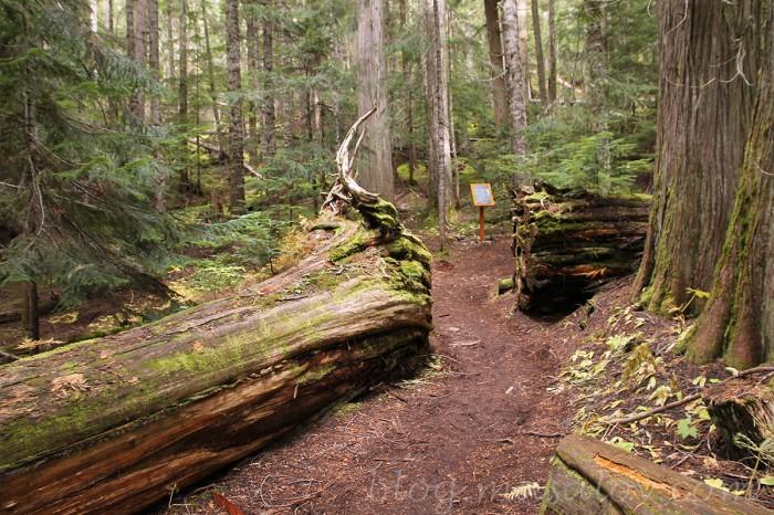 Wooden-boardwalk-giant-cedars-trail-revelstoke-national-park-trail-short-walk